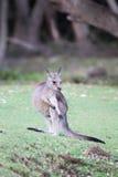 Canguro grigio orientale (giganteus del Macropus) Immagine Stock Libera da Diritti