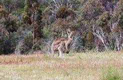 Canguro gris australiano imagen de archivo libre de regalías