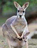 Canguro gris australiano con el bebé/el joey en bolsa Foto de archivo libre de regalías