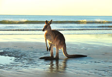 Canguro gris del este australiano, mackay, Queensland imagen de archivo