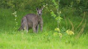 Canguro gris del este gigantesco y fuerte que dobla sus músculos en Australia almacen de metraje de vídeo