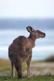 Canguro gris del este (giganteus del Macropus) Fotografía de archivo