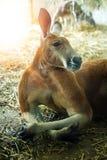 Canguro muscolare che riposa nello zoo immagine stock libera da diritti