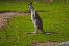 Canguro in natura selvaggia Fotografia Stock