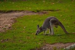 Canguro in natura selvaggia Fotografia Stock Libera da Diritti