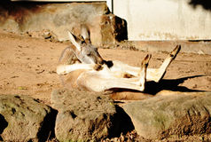 Canguro nell'azione divertente Fotografia Stock