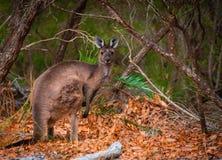 Canguro nell'entroterra dell'Australia occidentale fotografia stock libera da diritti