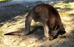 Canguro que se sienta en la tierra en los jardines zoológicos imagen de archivo