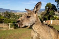 Canguro in riserva naturale animale australiana immagine stock