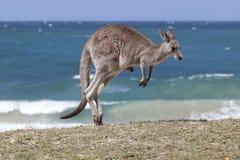 Canguro rojo de salto en la playa, Australia Imagen de archivo