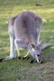 Canguro rojo del varón adulto, rufa de Megaleia Foto de archivo