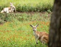 Canguro rojo que mira alrededor de detrás un árbol Imagen de archivo libre de regalías