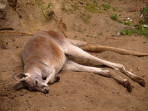 Canguro rosso Fotografia Stock Libera da Diritti