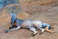 Canguro rosso Immagini Stock