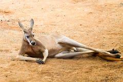 Canguro rosso Fotografie Stock Libere da Diritti