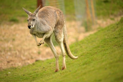 Canguro rosso australiano Fotografie Stock