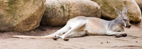 Canguro rosso che si trova sulla terra Fotografia Stock