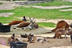 Canguro rosso nello zoo di Assiniboine, Winnipeg, Manitoba, Immagine Stock Libera da Diritti