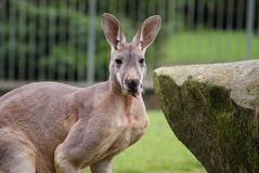 Canguro rosso - rufus del Macropus Fotografie Stock