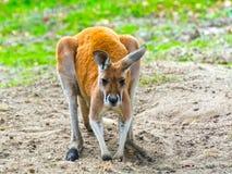 Canguro rosso (rufus del Macropus) Immagini Stock Libere da Diritti