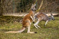 Canguro rosso, rufus del Macropus in uno zoo tedesco immagini stock libere da diritti