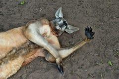 Canguro rosso selvaggio molto muscolare che si trova con la mano su Fotografia Stock Libera da Diritti