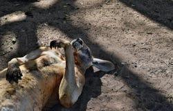 Canguro rosso selvaggio molto muscolare che si trova con la mano su Fotografia Stock