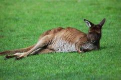 Canguro selvaggio Fotografia Stock