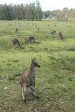 Canguro selvaggio in Australia Fotografie Stock Libere da Diritti