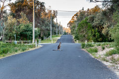 Canguro sentado en el camino Fotografía de archivo
