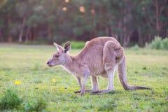 Canguro solo en Australia Fotografía de archivo
