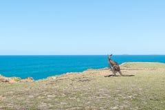 Canguro solo vicino ai precedenti del mare e del clif a Coffs Harbour Fotografie Stock