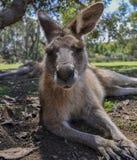 Canguro in Tasmania Fotografia Stock Libera da Diritti