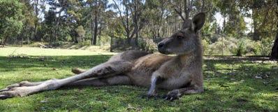 Canguro in Tasmania Fotografie Stock