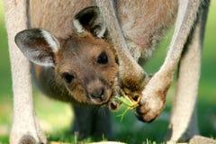 Canguros australianos Fotografía de archivo