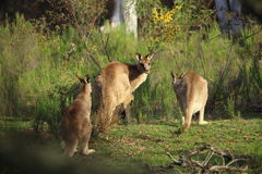 Canguros salvajes en bushland Imagenes de archivo