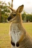 Canguru Imagens de Stock Royalty Free