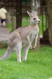 Canguru 2 Foto de Stock