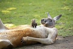 Canguru Fotografia de Stock