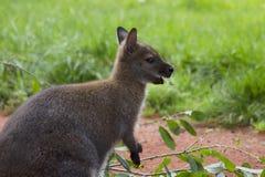canguru Imagens de Stock