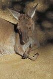canguru Imagem de Stock