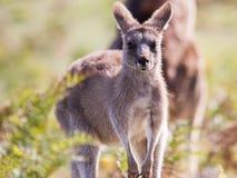 canguru Fotos de Stock Royalty Free