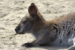 canguru Foto de Stock