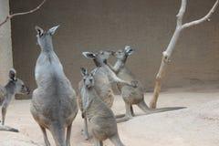 canguru Foto de Stock Royalty Free