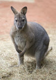 Canguru Fotografia de Stock Royalty Free