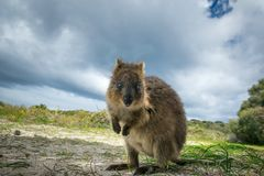 Canguru adorável do quokka foto de stock royalty free