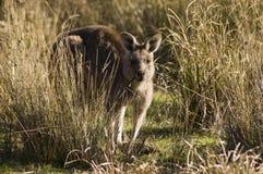 Canguru, Austrália Fotos de Stock