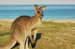 Canguru-Austrália vermelha Foto de Stock Royalty Free