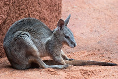 Canguru australiano imagens de stock royalty free