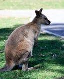 Canguru australiano fotografia de stock
